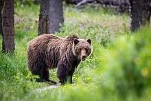 Grizzly bear nicknames