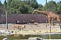 Jirafa(Giraffa camelopardalis)4.jpg