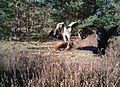 Junger Seeadler im Schlaubetal.jpg