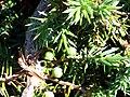 Juniperus communis subsp. phoenicia Berries and Leaves SierraNevada.jpg