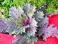 Kale, rosemary, and cilantro.jpg