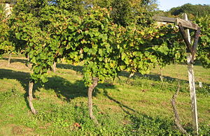 German wine - Vine trellising according to the Pfälzer Kammerbau system traditional to the Palatinate, where it was widely used until the 18th century. In an all-wooden version (without the steel wires), this system is supposed to date back to Roman times.