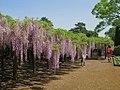 Kasukabe Wisteria Of Ushijima 1.jpg