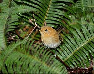 Kauaʻi ʻelepaio - Alakai Wilderness - Kaua'i, Hawaii (flash photo)