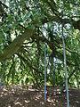 Kew Gardens P1170583.JPG