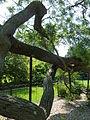 Kew Gardens Pagoda Tree P1170595.JPG