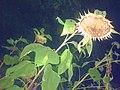 Keyboa Sunflowers at Night.jpg
