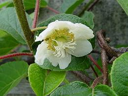 Kiwi-Flower, male