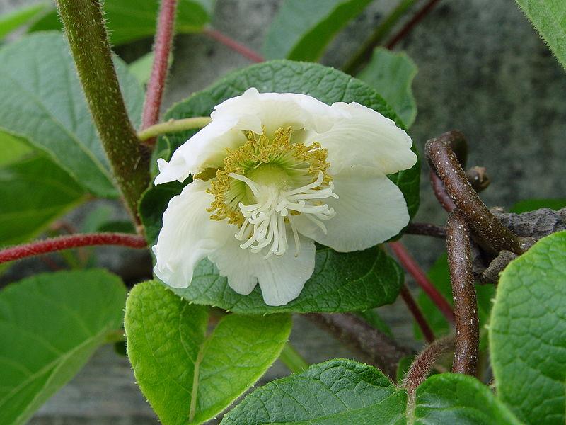 Ficheiro:Kiwi-Flower, male.jpg
