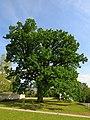 Klášterní dub v Broumově.jpg