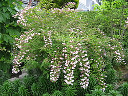 Kolkwitzia amabilis4.jpg