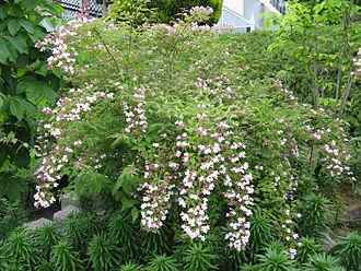 Linnaea amabilis - Image: Kolkwitzia amabilis 4