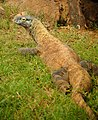 Komodo Dragon (5213903562).jpg