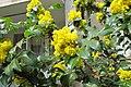 Korina 2013-03-30 Mahonia aquifolium 3.jpg