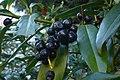 Korina 2014-08-19 Prunus laurocerasus.jpg