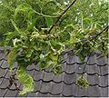 Krulziekte bij Perzik Taphrina deformans Prunus persica.jpg