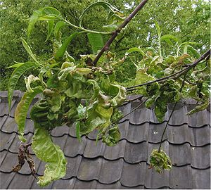 Taphrinomycotina - Peach tree (Prunus persica) attacked by Taphrina deformans