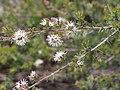 Kunzea rupestris flower Yeomans2.jpg