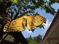 Kupu-kupu kuning.jpg