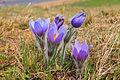 Kvetoucí koniklece v PP Kobylinec 39.jpg