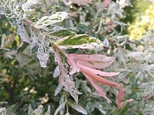 Salix japonica — Wikipédia