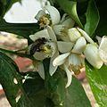 L'abeille et la fleur d'oranger.jpg