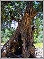 L'albero della carruba che a Creta ha sfamato tanta povera gente - panoramio.jpg