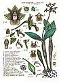 LR019 72dpi Dendrobium bifalce.jpg