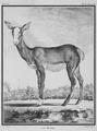 La biche - Hind - Gallica - ark 12148-btv1b2300253d-f12.png