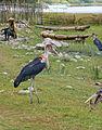 Lac Haïk-Ethiopie-Marabout (4).jpg