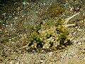 Lactoria cornuta (Longhorn cowfish).jpg
