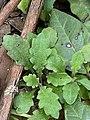 Lagenophora stipitata foliage.jpg