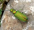 Lagorina sericea. Meloidae - Flickr - gailhampshire (4).jpg