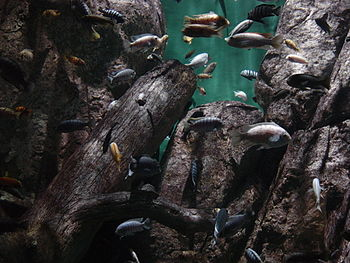 A sampling of aquarium fish from Lake Malawi, ...