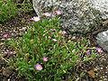 Lampranthus tenuifolius1.jpg