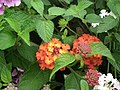 Lantana from Lalbagh flower show Aug 2013 8045.JPG