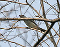 Large Cuckooshrike (Coracina macie) (Immature) asking for food at Jayanti, Duars W Picture 248.jpg