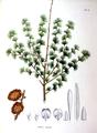 Larix kaempferi SZ105.png