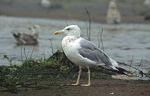 Caspian gull - Adult Caspian gull, Poland