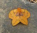 Lasiocampidae. Trabala sp. - Flickr - gailhampshire.jpg