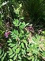 Lathyrus niger sl11.jpg