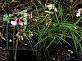 Lathyrus vernus narrow leaved pink - Flickr - peganum (1).jpg