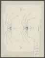 Latreillia phalangium - - Print - Iconographia Zoologica - Special Collections University of Amsterdam - UBAINV0274 095 23 0005.tif