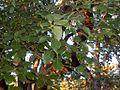 Lauraceae - Cinnamomum glanduliferum-1.JPG