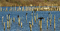 LeTeich-cormorans.jpg