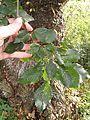 Leaf of Ulmus x viminalis, Mepal Cambridgeshire.jpg