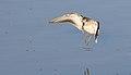 Least sandpiper, Calidris minutilla, at Alviso Marina County Park, Santa Clara, California, USA (31005648525).jpg