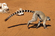 A ring-tailed lemur runs on the grund. Its lang tail trails behind it, demonstratin its lenth relative tae the body.