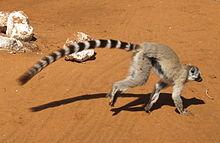 Um lemur anel-atado é executado no chão.  Sua cauda longa trilhas por trás dele, demonstrando seu comprimento em relação ao corpo.