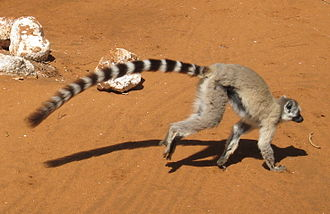 Ring-tailed lemur - The ring-tailed lemur's tail is longer than its body.